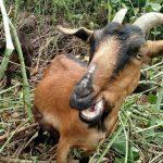 Goats Grazing On The Jim Mayer Riverswalk Trail